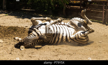 A young zebra playing on sand - Stock Photo