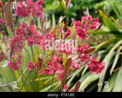 Showy red seed heads of the evergreen hop bush, Dodonaea viscosa - Stock Photo