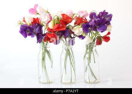 Lathyrus odoratus. Sweet pea 'Early Mammoth mixed' and 'Antique Fantasy mixed' flowers in glass bottles against a white background. - Stock Photo