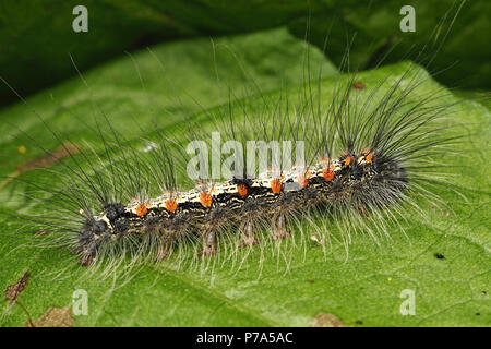 Four-spotted Footman moth caterpillar (Lithosia quadra) on dock leaf. Tipperary, Ireland - Stock Photo