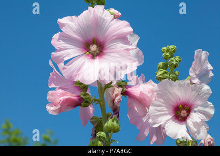Pink Hollyhock flower on a spike showing the life cycle of the flowers with buds, opening, in full bloom, and withering. Malvaceae, spring blooming, - Stock Photo