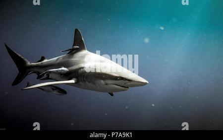 Oceanic blacktip shark (Carcharhinus limbatus) and remora fish underwater in Natal, South Africa - Stock Photo