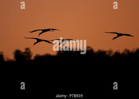 A flock of Wood Stork, Mycteria americana, in for landing near a pond in Sarigua national park, Herrera province, Republic of Panama. - Stock Photo