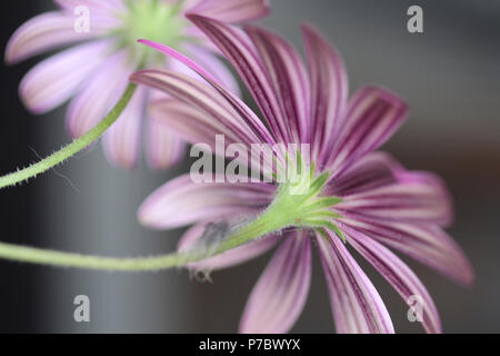The beautiful striped pattern of the back of the petals of a purple daisy. - Stock Photo