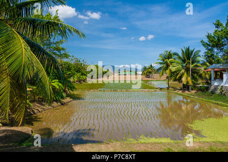 A scenic view of rectangular rice paddy fields with palm trees on a rice farm in Langkawi, Kedah, Malaysia. - Stock Photo