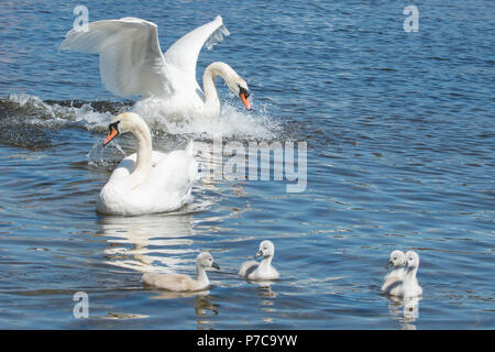 Mute Swan - Cygnus olor - family - Luss, Loch Lomond, Scotland, uk - Stock Photo