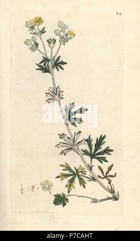 Hoary cinquefoil, Potentilla argentea. Handcoloured copperplate engraving after an illustration by James Sowerby from James Smith's English Botany, London, 1793. - Stock Photo