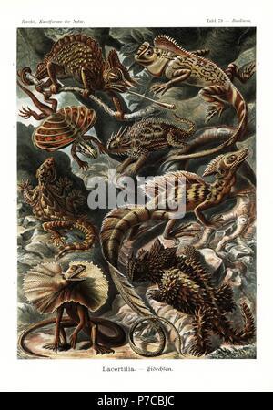 Lacertilia lizards and chameleons: Cameroon sailfin chameleon, Trioceros montium, chameleon forest dragon, Gonocephalus chamaeleontinus, flying dragon, Draco volans, Texas horned lizard, Phrynosoma cornutum, Kuhl's flying gecko, Ptychozoon kuhli, basilisk, Basiliscus basiliscus, frill-necked lizard, Chlamydosaurus kingii, and thorny devil, Moloch horridus. Chromolithograph by Adolf Glitsch from an illustration by Ernst Haeckel from Art Forms in Nature, Kunstformen der Natur, Liepzig, Germany, 1904. - Stock Photo