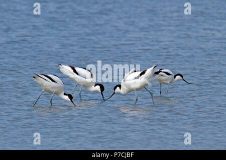 pied avocets, (Recurvirostra avosetta) - Stock Photo