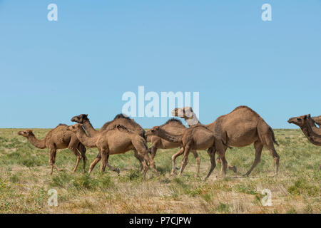 Dromedaries, running, Camel farm, Breeding farm, South region, Kazakhstan, (Camelus dromedarius) - Stock Photo