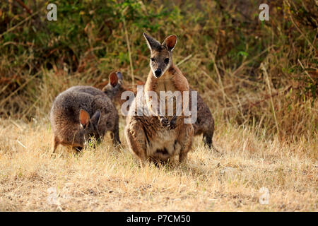 Tammar Wallaby, Dama-Wallaby, group of adults feeding, Kangaroo Island, South Australia, Australia, (Macropus eugenii) - Stock Photo