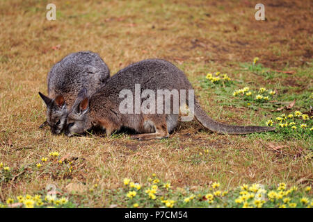 Tammar Wallaby, Dama-Wallaby, two adults feeding, Kangaroo Island, South Australia, Australia, (Macropus eugenii) - Stock Photo