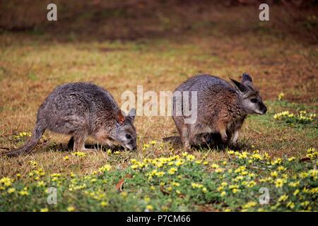 Tammar Wallaby, Dama-Wallaby, two adults feeding, Kangaroo Island, South Australia, Australia, (Macropus eugenii) - Stock Photo