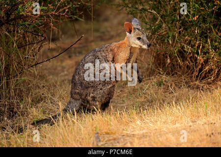 Tammar Wallaby, Dama-Wallaby, adult, Kangaroo Island, South Australia, Australia, (Macropus eugenii) - Stock Photo