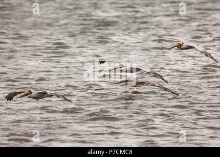 A flock of Brown Pelican, Pelecanus occidentalis, on the Pacific coast at Punta Chame, Republic of Panama. - Stock Photo