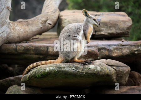 Yellow-footed Rock Wallaby, adult on rock, South Australia, Australia, (Petrogale xanthopus) - Stock Photo