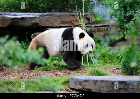 Giant Panda, adult walking, Adelaide, South Australia, Australia, (Ailuropoda melanoleuca) - Stock Photo