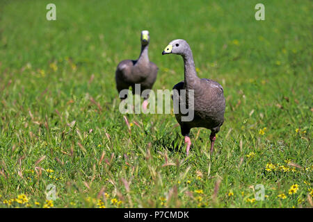 Cape Barren Goose, couple on meadow, Mount Lofty, South Australia, Australia, (Cereopsis novaehollandiae) - Stock Photo