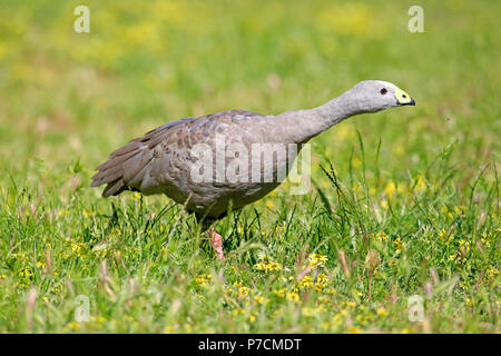 Cape Barren Goose, adult on meadow, Mount Lofty, South Australia, Australia, (Cereopsis novaehollandiae) - Stock Photo