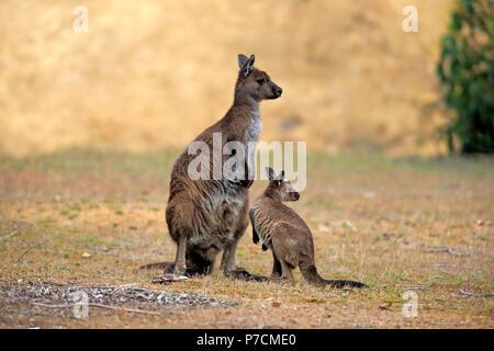 Kangaroo Island Kangaroo, adult with young, mother with young, Kangaroo Island, South Australia, Australia, (Macropus fuliginosus fuliginosus) - Stock Photo