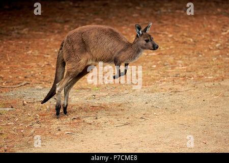 Kangaroo Island Kangaroo, adult jumping, Kangaroo Island, South Australia, Australia, (Macropus fuliginosus fuliginosus) - Stock Photo