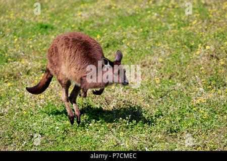 Kangaroo Island Kangaroo, adult jumping on meadow, Kangaroo Island, South Australia, Australia, (Macropus fuliginosus fuliginosus) - Stock Photo