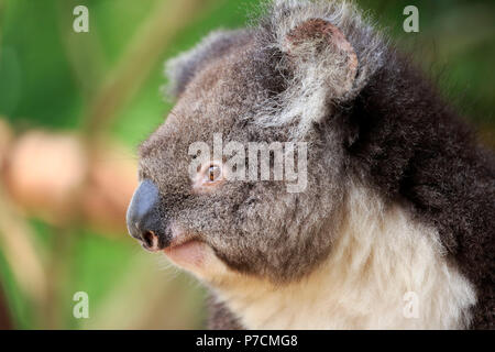 Koala, adult portrait, Kangaroo Island, South Australia, Australia, (Phascolarctos cinereus) - Stock Photo