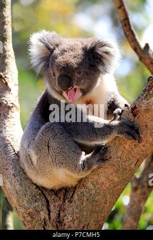 Koala, adult on tree jawning, Kangaroo Island, South Australia, Australia, (Phascolarctos cinereus) - Stock Photo