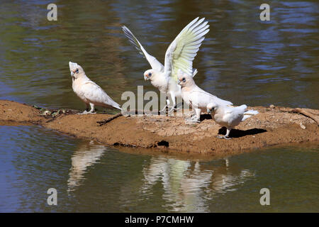 Little Corella, bare-eyed cockatoo, blood-stained cockatoo, short-billed corella, little cockatoo, blue-eyed cockatoo, group at water, Sturt Nationalpark, New South Wales, Australia, (Cacatua sanguinea) - Stock Photo