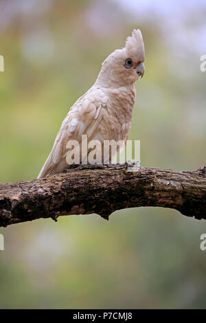 Little Corella, bare-eyed cockatoo, blood-stained cockatoo, short-billed corella, little cockatoo, blue-eyed cockatoo, adult on tree, Sturt Nationalpark, New South Wales, Australia, (Cacatua sanguinea) - Stock Photo