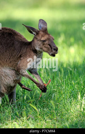 Eastern Grey Kangaroo, adult female with Eucalyptus bark, Mount Lofty, South Australia, Australia, (Macropus giganteus) - Stock Photo