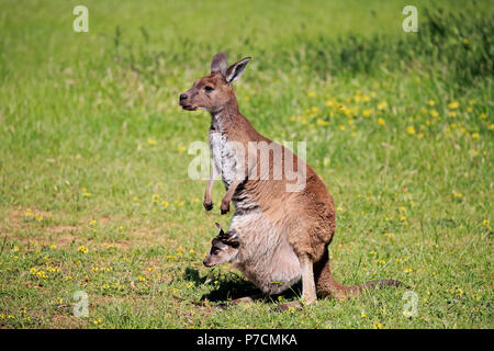 Eastern Grey Kangaroo, adult female with young in pouch, adult with joey in pouch, Mount Lofty, South Australia, Australia, (Macropus giganteus) - Stock Photo