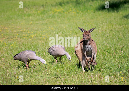 Eastern Grey Kangaroo, adult with joey in pouch on meadow, Cape Barren Gooses, Mount Lofty, South Australia, Australia / - Stock Photo