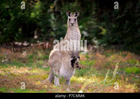 Eastern Grey Kangaroo, adult female with young looking out of pouch, adult with joey in pouch, Merry Beach, Murramarang Nationalpark, New South Wales, Australia, (Macropus giganteus) - Stock Photo