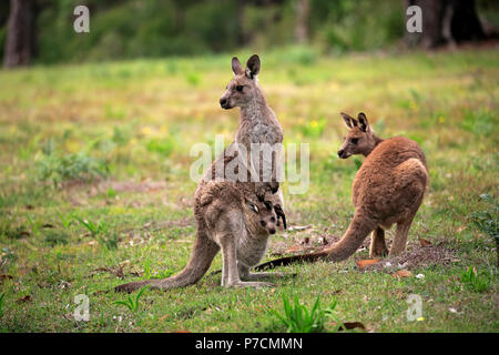 Eastern Grey Kangaroo, adult with joey in pouch, Merry Beach, Murramarang Nationalpark, New South Wales, Australia, (Macropus giganteus) - Stock Photo