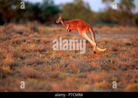 Red Kangaroo, adult male jumping, Sturt Nationalpark, New South Wales, Australia, (Macropus rufus) - Stock Photo