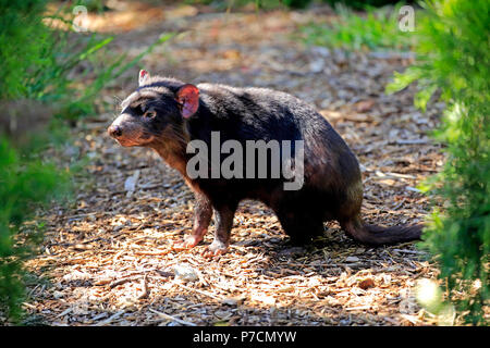 Tasmanian Devil, adult, Mount Lofty, South Autralia, Australia, (Sarcophilus harrisii) - Stock Photo