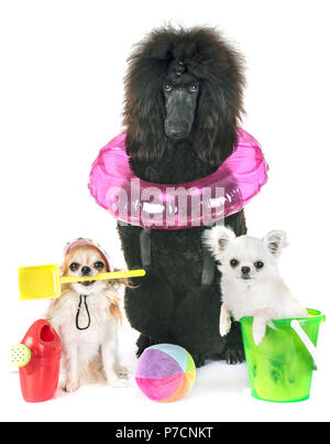 black standard poodle and chihuahuas in front of white background - Stock Photo