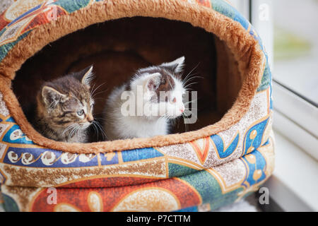 Two small kittens, gray and white, peep out of their house - Stock Photo
