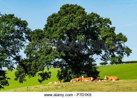 Roxburgh, Kelso, Scottish Borders, UK. 28th June 2018. Cattle rest under a tree on a hot summers day in Roxburghshire. - Stock Photo