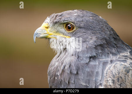 Portrait of a Black Chested Buzzard Eagle looking left - Stock Photo