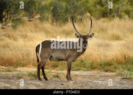 Waterbuck (Kobus ellipsiprymnus), Moremi National Park, Okavango Delta, Botswana - Stock Photo