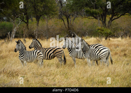 Group Burchell's Zebras (Equus quagga burchelli), Moremi Game Reserve, Okavango Delta, Botswana - Stock Photo