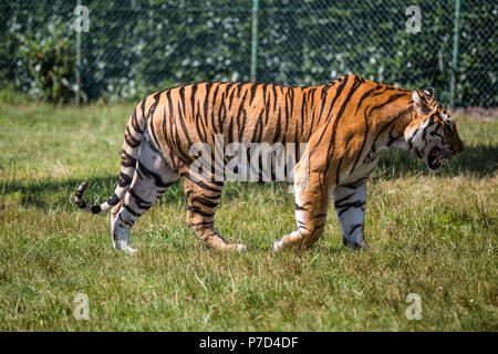 Isolated tiger walking on the grass. - Stock Photo