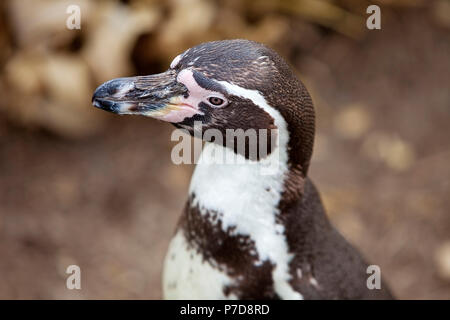 Humboldt penguin (Spheniscus humboldti), animal portrait, captive, Germany - Stock Photo