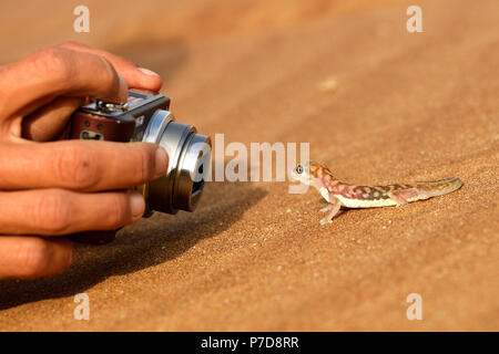 Palmato-Gecko is photographed, Namib Desert near Swakopmund, Namibia - Stock Photo