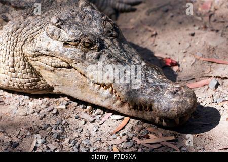 Close-up  of the head  large Estuarine  Crocodile at Hartley's Crocodile Adventures, Captain Cook Highway, Wangetti, Queensland, Australia - Stock Photo