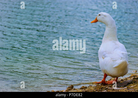 White Pekin Duck standing by the lake on a summer day in Florida. - Stock Photo