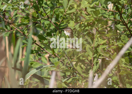 sedge warbler, Acrocephalus schoenobaenus, in a bush on a sunny afternoon in Scotland during july. - Stock Photo