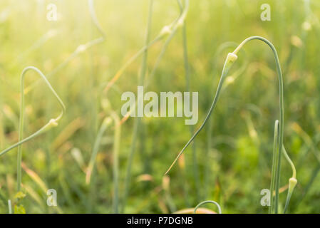 Maturation of garlic on the field, flower and seeds, soft background with sunlight - Stock Photo